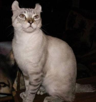 Gambar Kucing Highlander Shorthair atau Highland Lynx