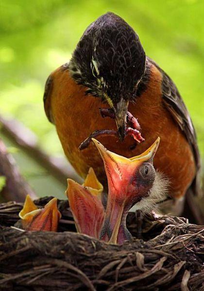 Pássaro alimentando seus filhos com minhocas