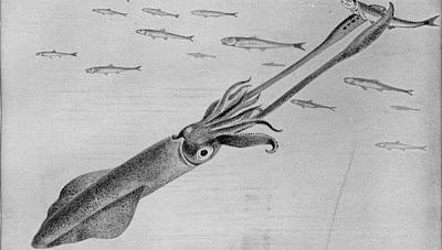 El calamar es un cefalópodo