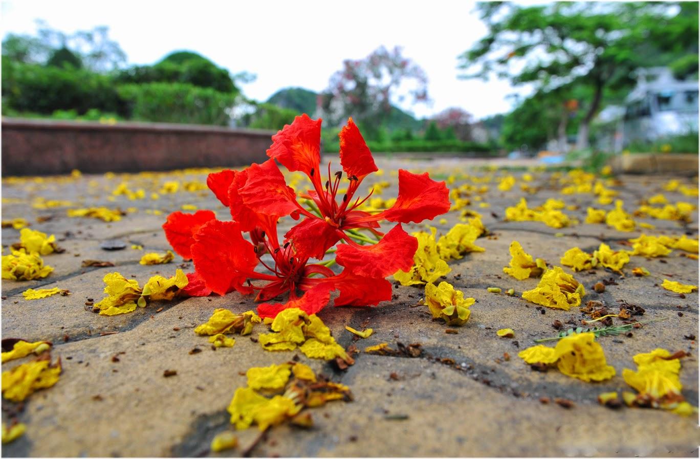 download hình nền hoa phượng đỏ