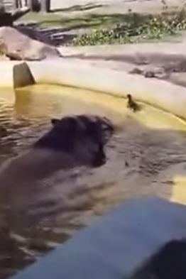 Ιπποπόταμοι βοηθούν παγιδευμένο παπάκι να βγει από την λιμνούλα