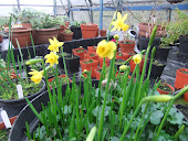 Jonquil in pots