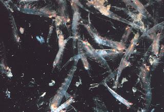 Krill en el agua