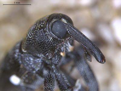 Fijian baridine weevil