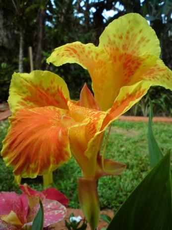 Cari tau simetri diagram dan rumus bunga bunga yang tidak memiliki bidang simetri contohnya bunga tasbih canna hybrida hort ccuart Gallery