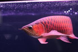 Ikan Arwana Hewan Purba Di Indonesia Yang Masih Hidup Sampai Sekarang