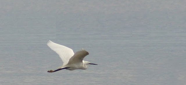 Garseta blanca (Egretta garzetta)