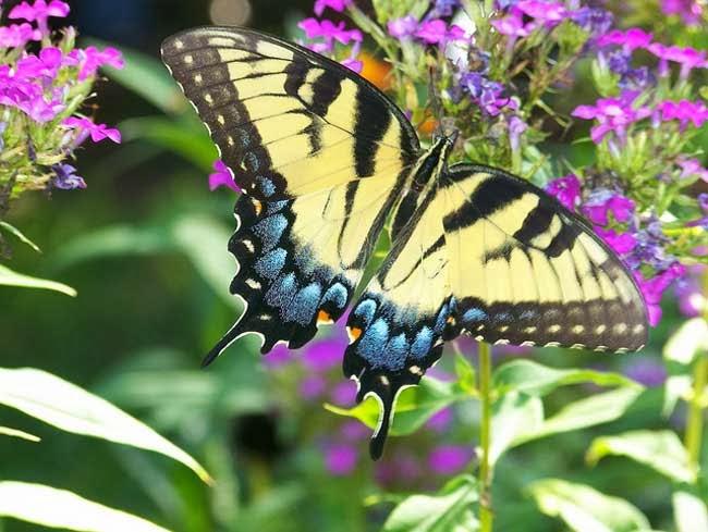 gambar kupu kupu yg indah - gambar hewan - gambar kupu kupu yg indah
