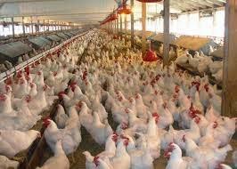 Ambo, coccidiosis, Eimeria, poultry, prevalence
