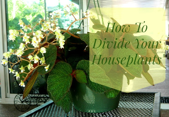 How to divide your houseplants