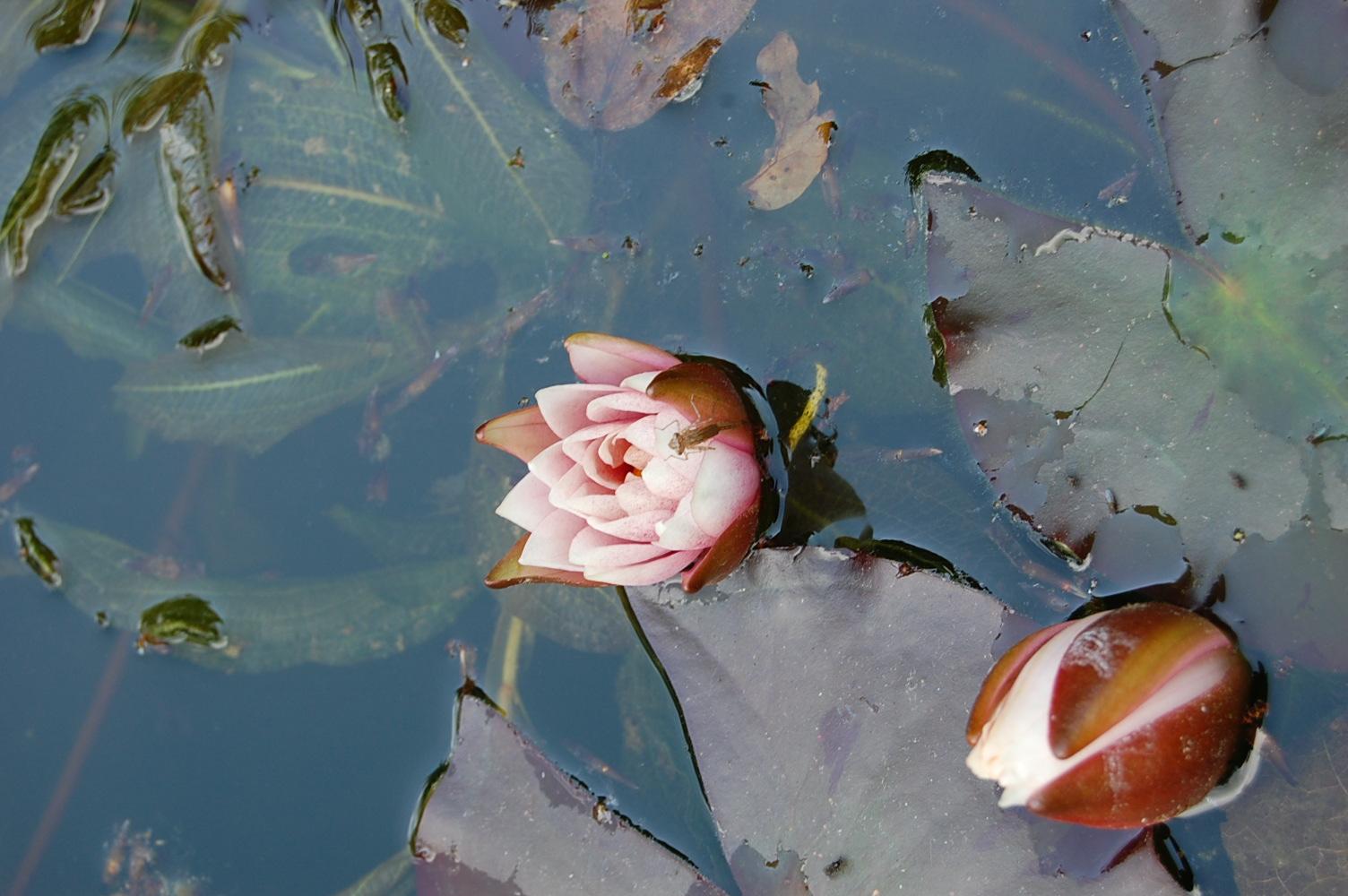 Patsy kay kolesar design no mud no lotus necklace artist residency lotus flower holland artist residency izmirmasajfo Image collections