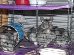 Our Chinchillas
