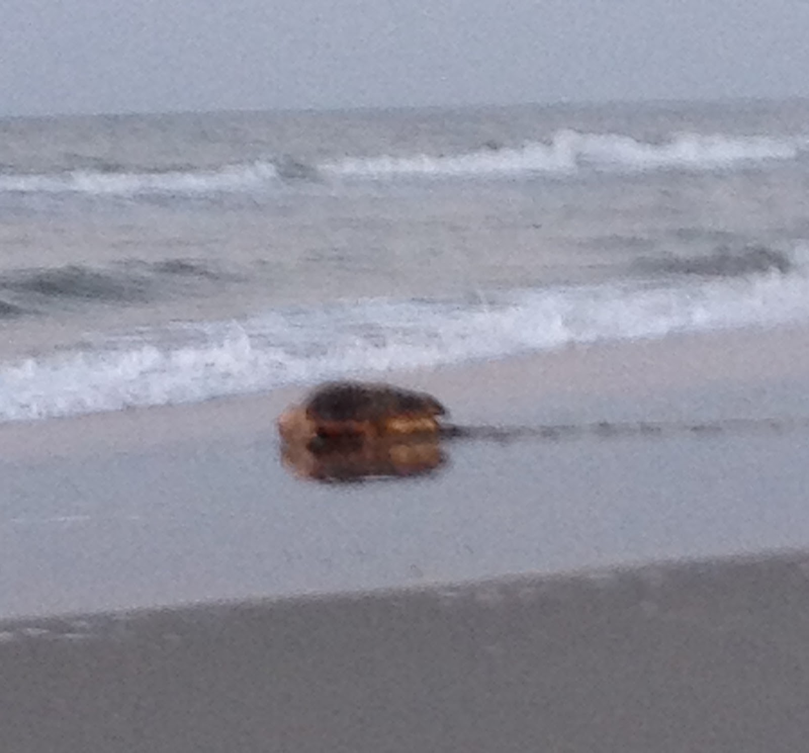 North myrtle beach sea turtle patrol september 2012 they quietly observed her as the turtle sat in a tide pool she then raised her head looked around and crawled to the ocean nvjuhfo Gallery