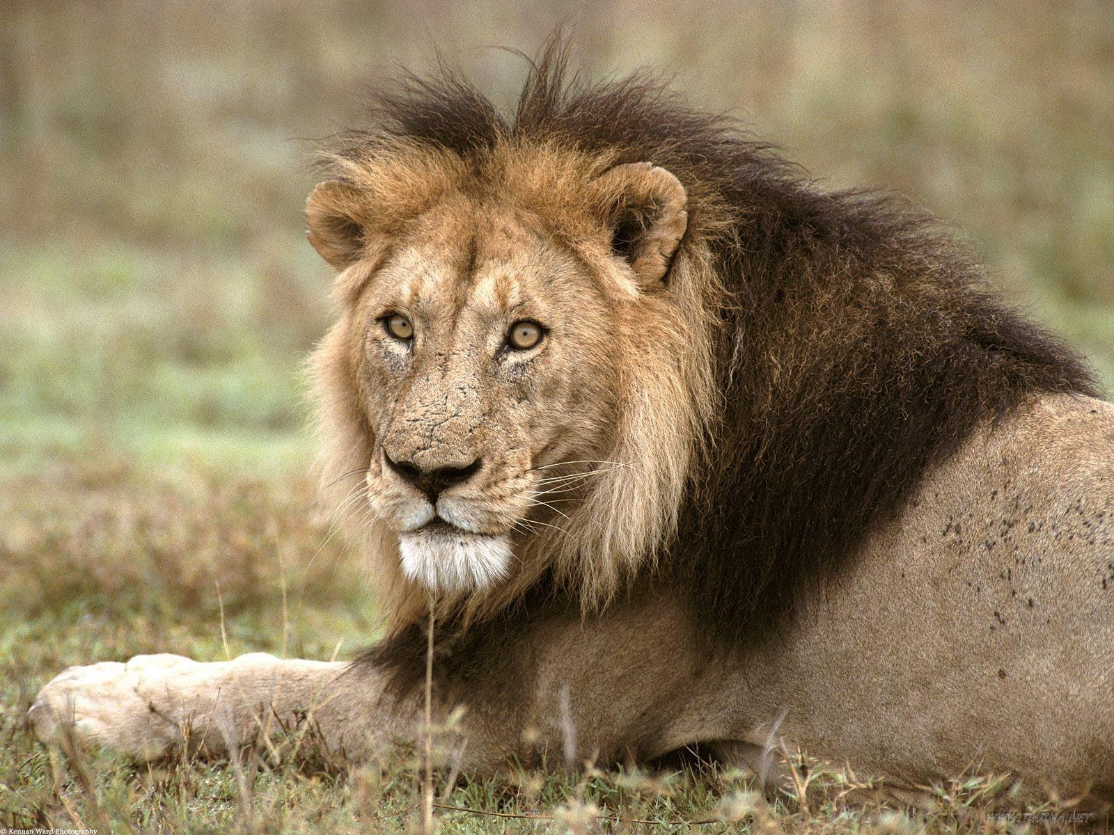 http://3.bp.blogspot.com/-bK2DwaQISIA/UMBLD2hribI/AAAAAAAACnY/fX2UBQ6YvvQ/s1600/Lion+Pictures+1.jpg
