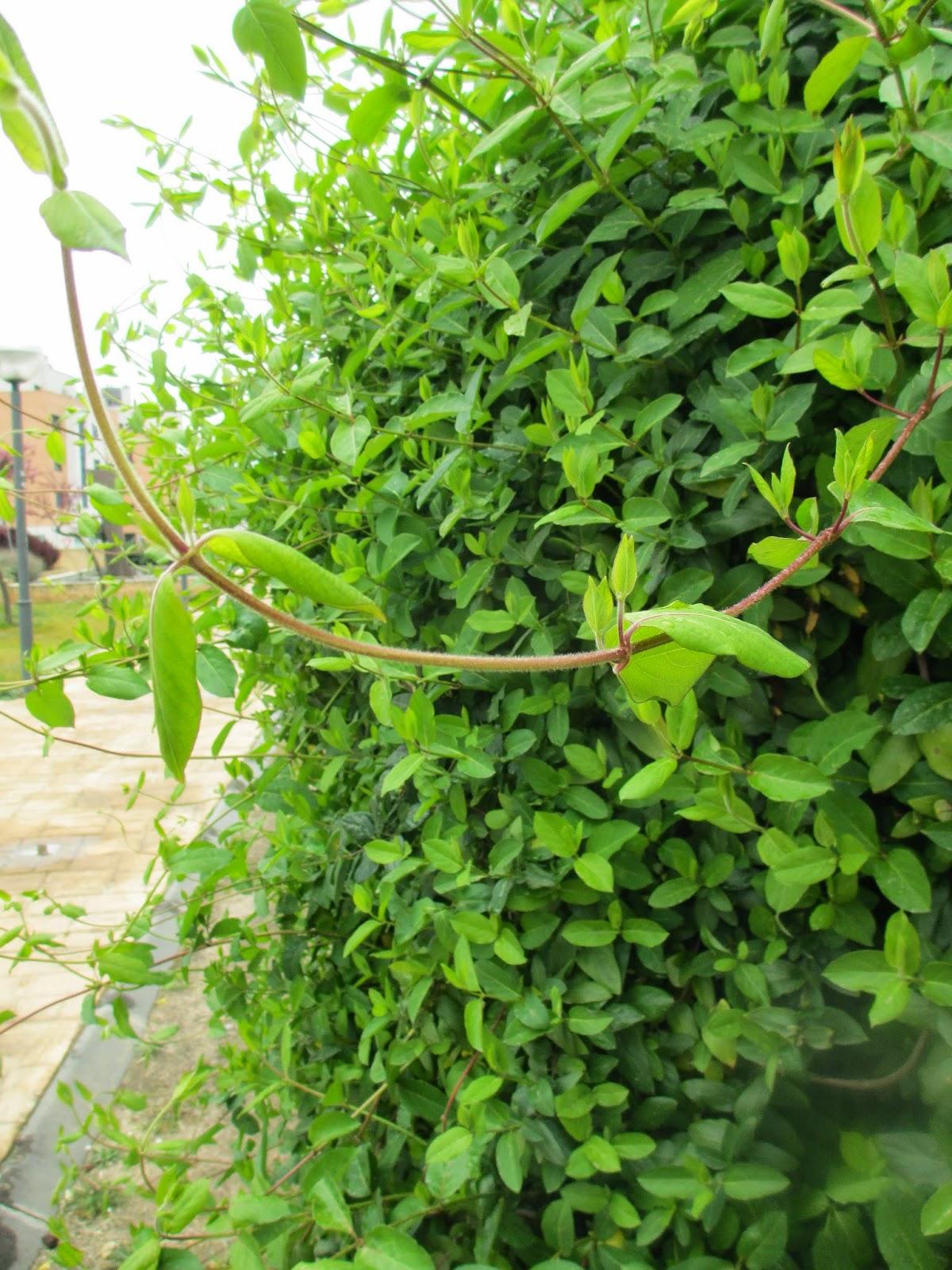 La mar de verde lonicera caprifolium o madreselva - La madreselva ...