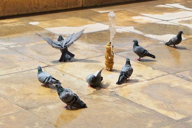 Pigeon bathing