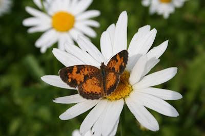 O que acontece se a borboleta não sai do casulo?