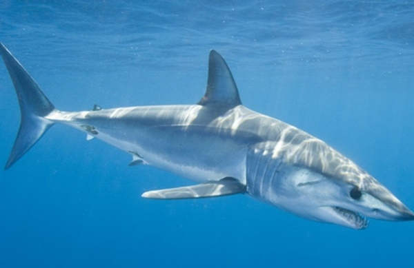 mako shark pics endangered species