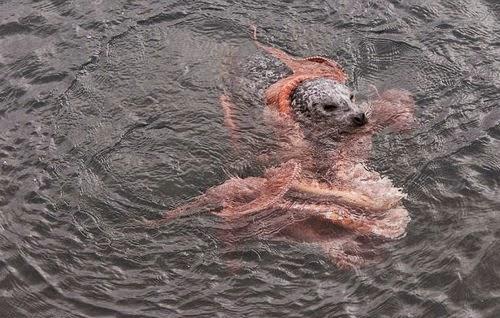 NGERI Pertarungan Hidup Mati Antara Sotong Kurita VS Anjing Laut VIDEO