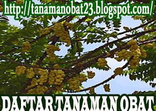 Manfaat Dan Khasiat Tanaman Ciplukan (Physalis peruviana, Linn.)