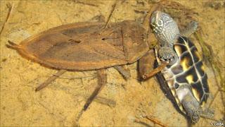 Serangga Predator Raksasa Pemangsa Kura-kura