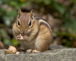Chipmunks pictures