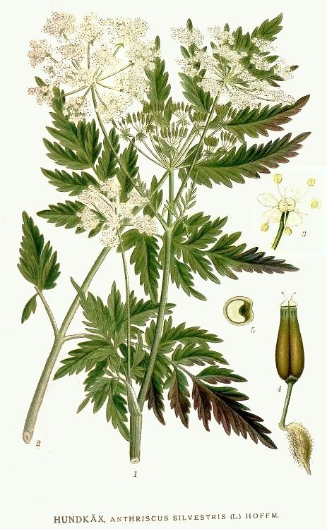 Parsley Illustration WIESENGENUSS: KERBEL, ...