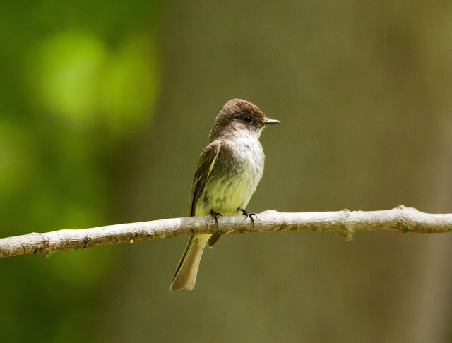 Eastern Phoebe - Doodletown, New York