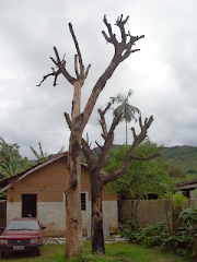 Artocarpus heterofolia ou Jaqueira