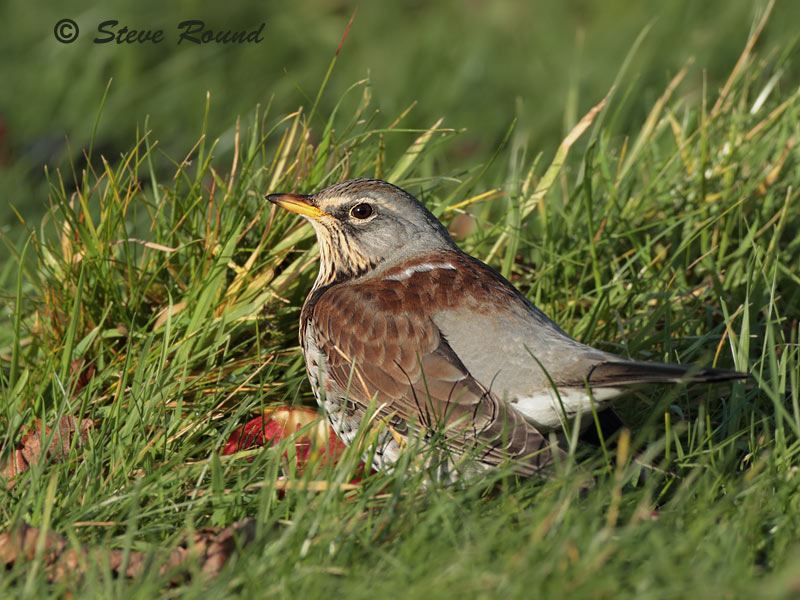 thrush, fieldfare, winter, bird