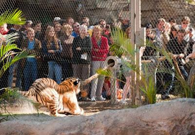 Tarik Tambang dengan Harimau