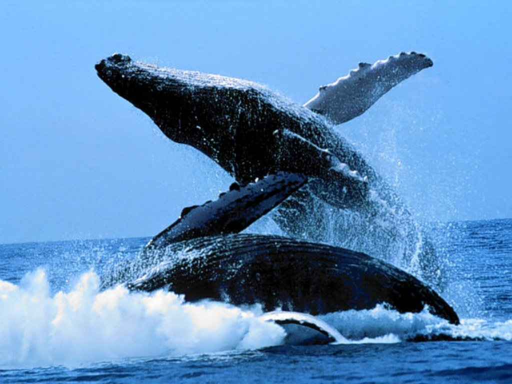 Whale wallpaper - photo#20