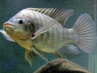 Macam Macam Produk Pembudidayaan Ikan Pembudidayaan Ikan Bandeng