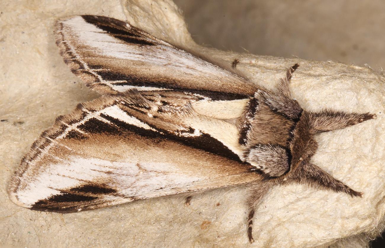 Lesser Swallow Prominent, Pheosia gnoma.  Notodontidae.  Moth trap at Sevenoaks Wildlife Reserve, 27 April 2014.