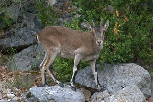 Hembra de Cabra montés (Capra pyrenaica)
