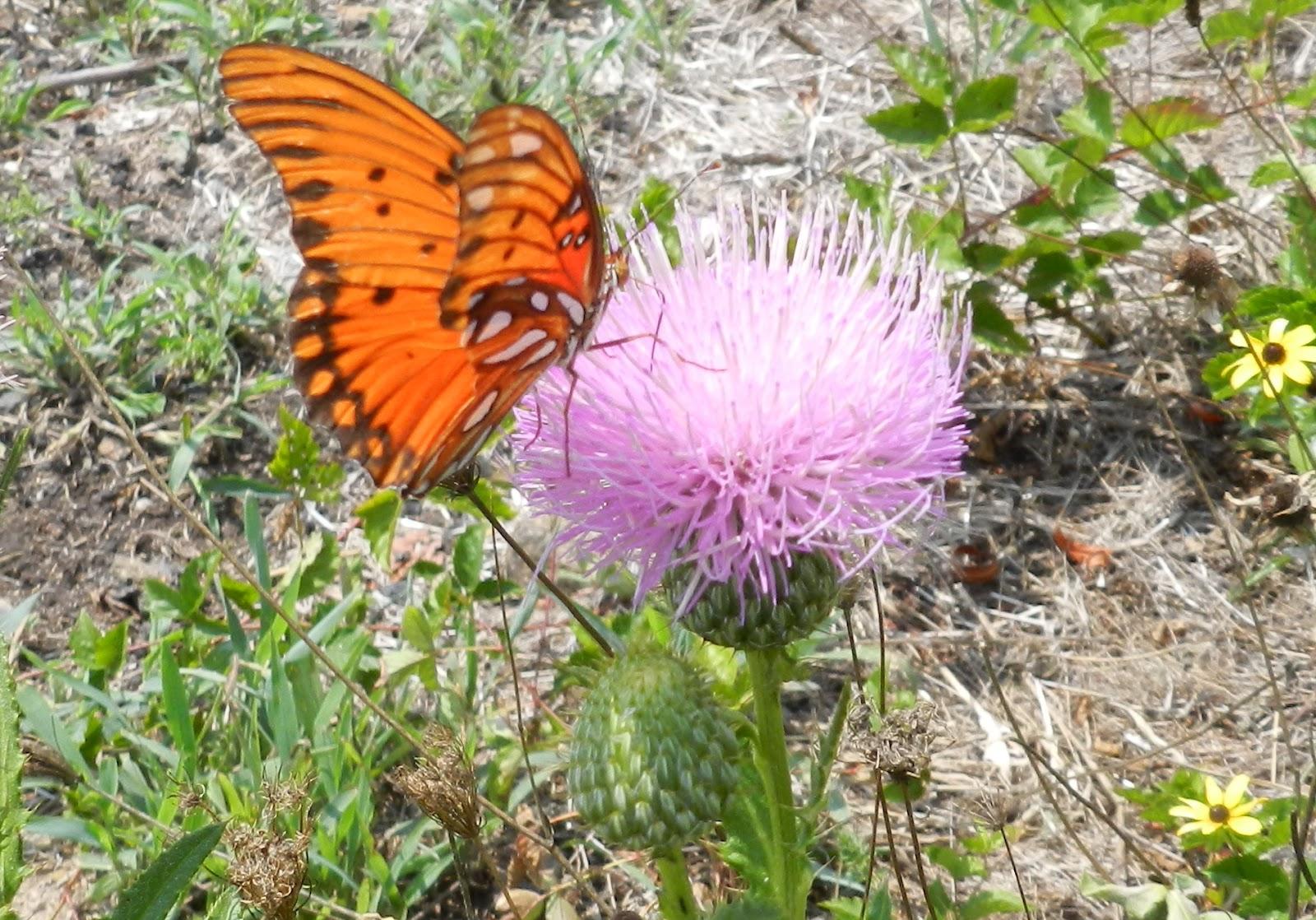 MSU News - MSU Extension guide helps distinguish native thistles ...