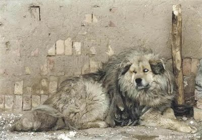 Lion Dogs From Tibet the tibetan mastiff