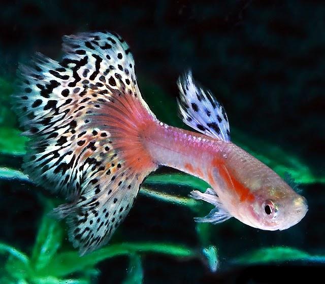 Gambar Ikan Guppy Terindah