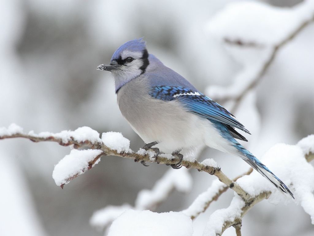 Picturespool beautiful birds in winter wallpapers Pictures of birds