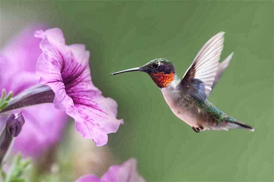 Foto de beija flor na flor 55