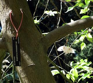 Melliodendron Xylocarpum tag - UBC Botanical Garden