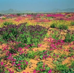 Chile: Desierto florido