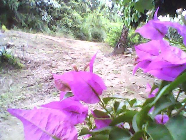 Bunga Bougenville Tuqbi Taramanu (Tutar)