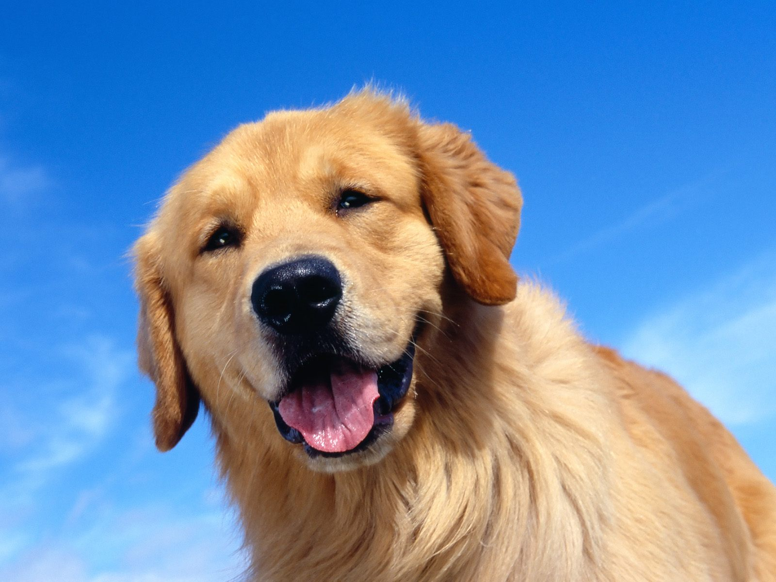 fantastica animal the golden retiever happy thursday images with dogs