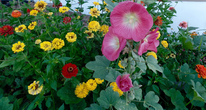Hollyhocks and zinnias