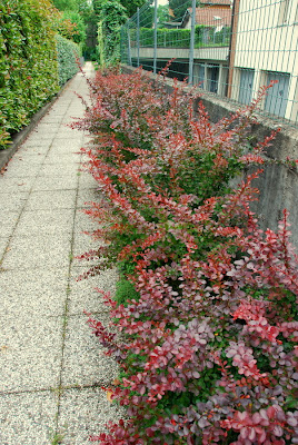 Il mondo in un giardino berberis e berberina - Cespugli da giardino ...