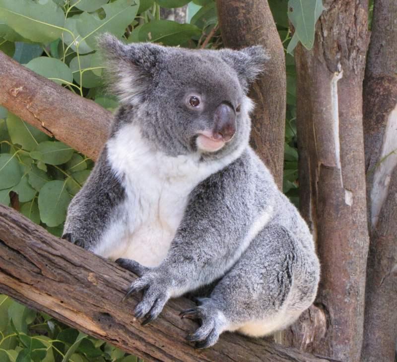 U Lili: miś koala