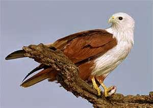 Burung Elang