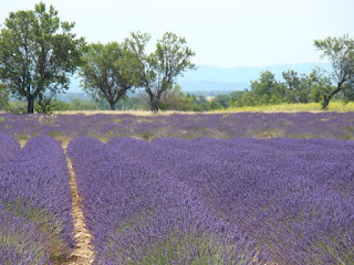 Lavender Field on the Plateau de Valensole, with wild Almond trees