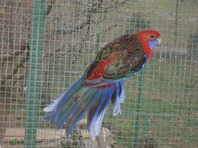 Ev hayvanları: dalgalı papağan - bakım ve bakım